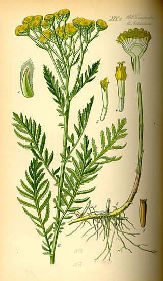 Tansy-Plant-Illustration