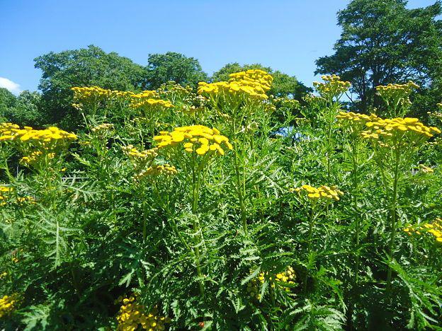 Tansy-bushes