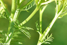 Branch-of-Tansy-Plant