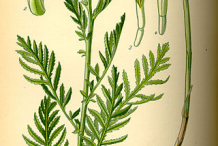Tansy-Plant-Illustration