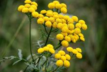 Tansy-plant