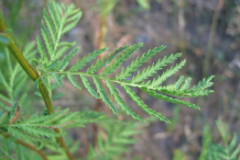 Leaves-of-Tansy-Plant