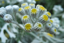 Tansy-Flower-Bud