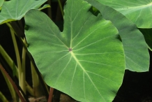 Leaves-of-Taro