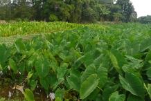 Taro-farm