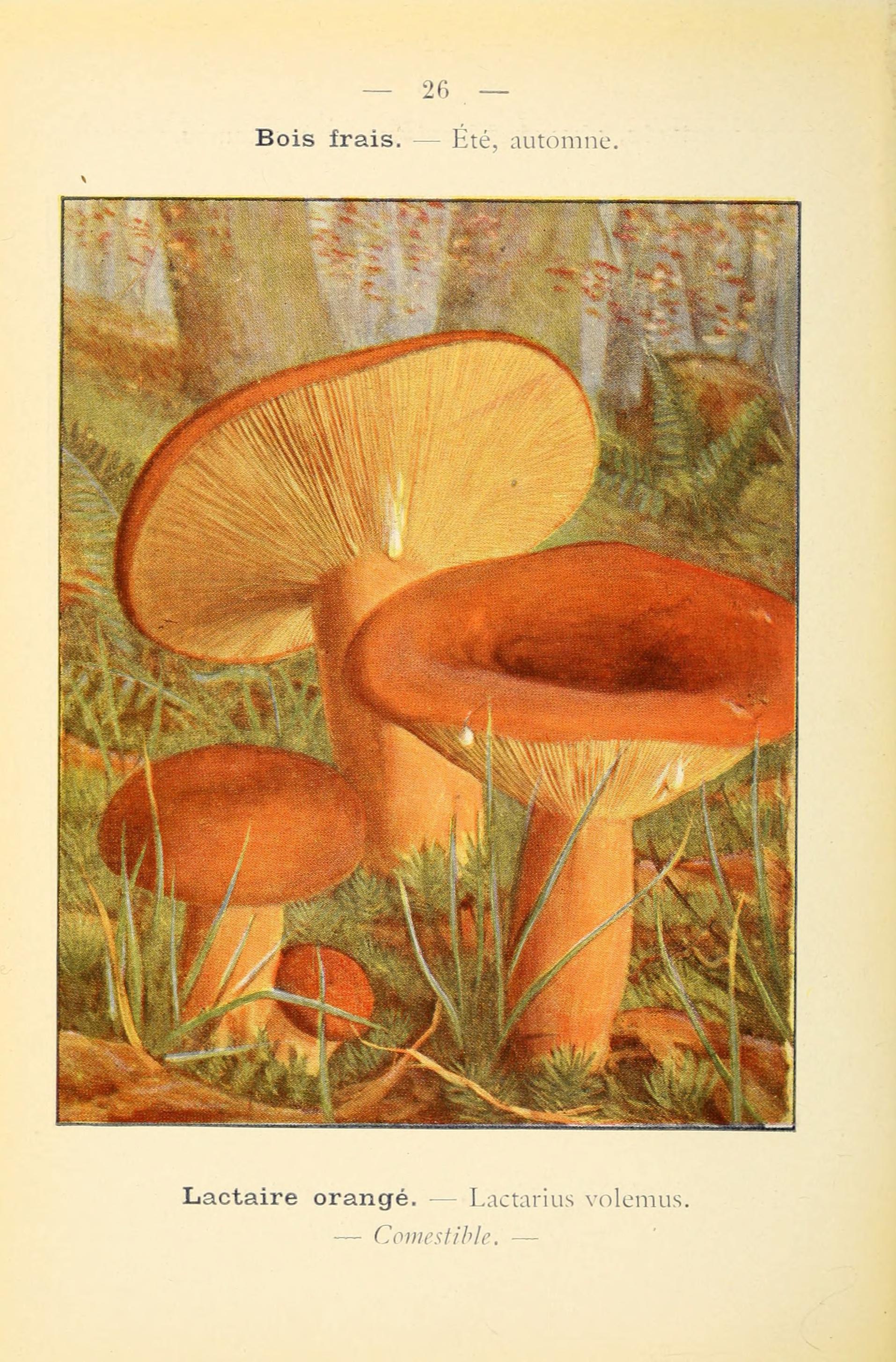 Plant-illustration-of-Tawny-milkcap