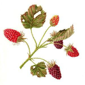 Plant-illustration-of-Tayberry