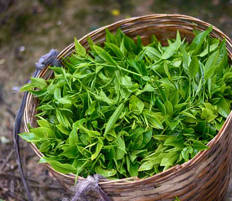 Harvested-Tea-leaves