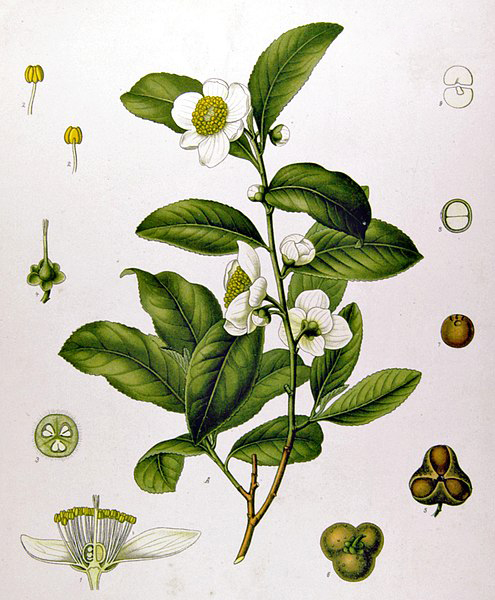 Plant-Illustration-of-Tea-Plant