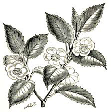 Sketch-of-Tea-Plant