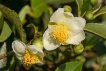 Flower-of-Tea-Plant
