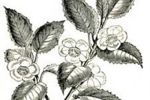 Sketch-of-Tea-Plant