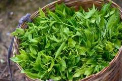 Harvested-Tea-leaves