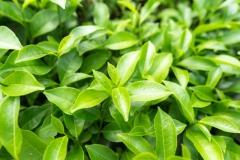 Leaves-of-Tea-Plant