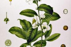 Plant-Illustration-of-Tea-Plant