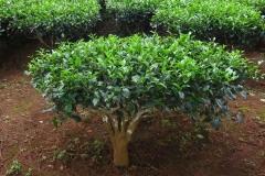 Tea-plant