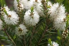 Flowers-of-Tea-Tree