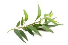 Leaves-of-Tea-Tree