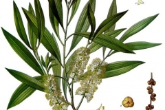Plant-Illustration-of-Tea-Tree