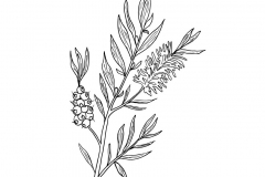 Sketch-of-Tea-Tree