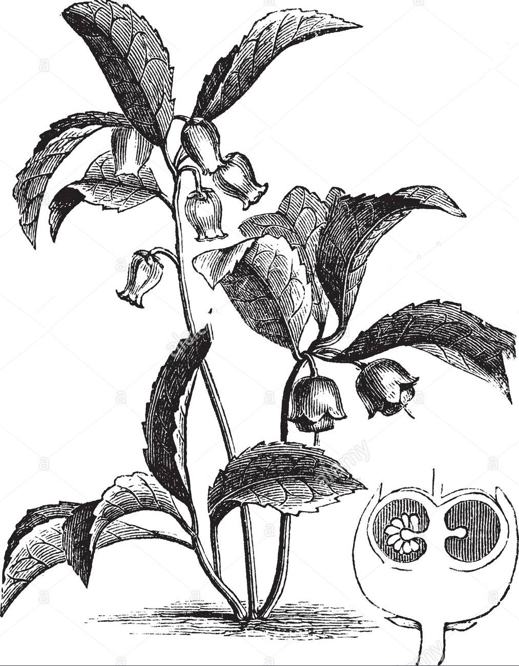 Sketch-of-Teaberry