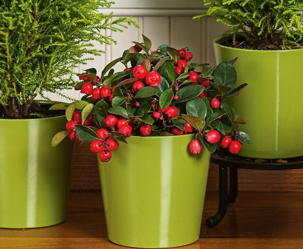 Teaberry-plant-grown-on-pot