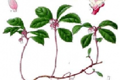 Plant-Illustration-of-Teaberry