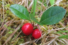 Teaberry-plant