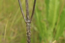Dried-stem-of-Teasel-plant