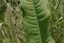 Leaves of-Teasel-plant