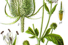 Plant-Illustration-of-Teasel-plant