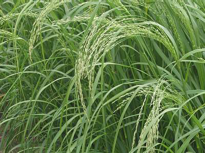 Seed-heads-of-Teff-plant