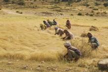 Teff-Harvesting