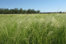 Teff-farming