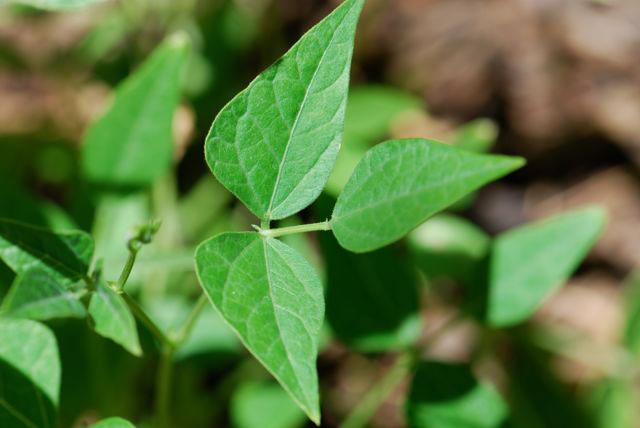 Leaves-of-Tepary-bean