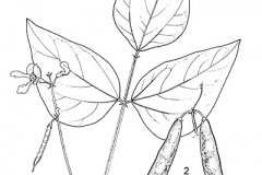 Plant-Illustration-of-Tepary-bean