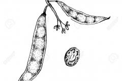 Sketch-of-Tepary-bean