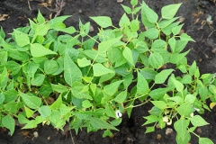 Tepary-bean-plant