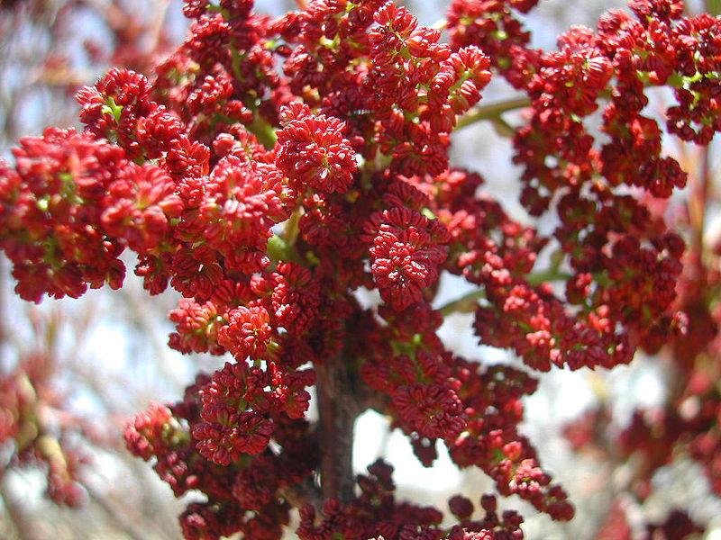 Flower-of-Terebinth