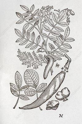 Sketch-of-Terebinth