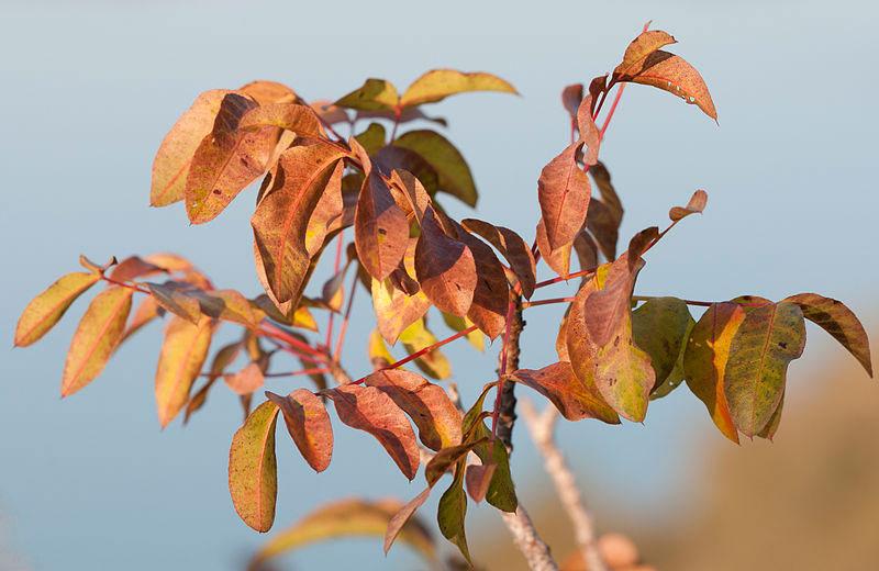 Winter-leaves-of-Terebinth