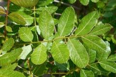 Leaves-of-Terebinth