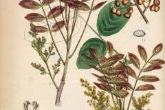 Plant-Illustration-of-Terebinth