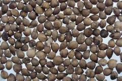 Seeds-of-Terebinth