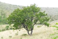 Terebinth-Tree