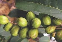 Unripe-fruits