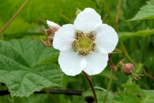 Thimbleberry-close-up-flower