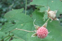 Thimbleberry-unripe-fruit