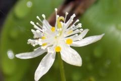 Closer-view-of-flower-of-Threeleaf-goldthread