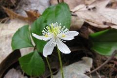 Flower-of-Threeleaf-goldthread